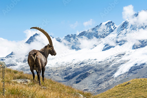 Door stickers Alps Alpine Ibex (Capra ibex), Gran Paradiso National Park, Italy