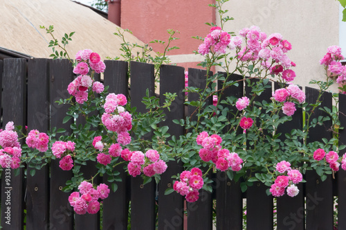 In de dag Candy roze Beautiful pink roses on the fence