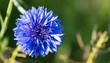 canvas print picture - Bleuet bleu