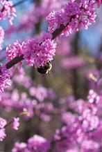 Bumble Bee Pollinates Pink Blo...