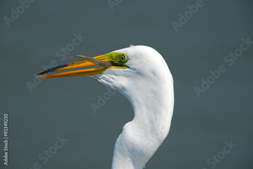Αφίσα  Great Egret with Fish