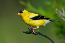 American Goldfinch Sitting On Branch