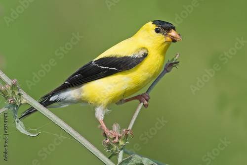 Fotografie, Obraz American Goldfinch sitting on branch