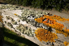Thick Colorful Lichens On Old Wooden Fence, With Horizontal Upper Rail.
