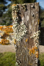 Thick Colorful Lichens On Old Wooden Fence Post, With Upper Rail Leading Off To Side