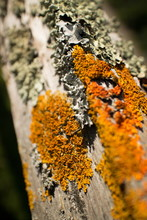 Thick Colorful Lichens On Old Wooden Fence, Close Up Of Upper Rail Perspective.