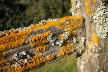 Thick Colorful Lichens On Old Wooden Fence Post, With Horizontal Upper Rail Leading Away  Diagonally From Vertical Post.