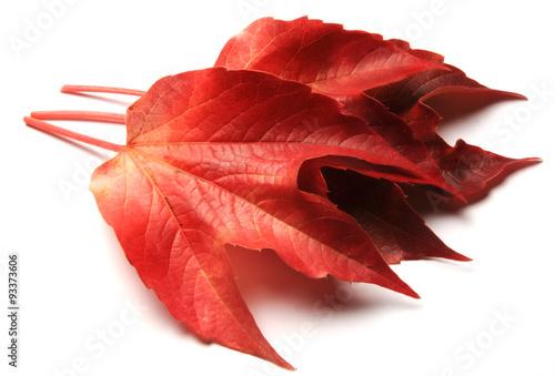 Fotografía  Ampelopsis brevipedunculata enredadera Vite canadese Виноградовник короткоцветон