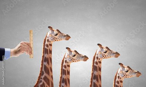Fotografía  Measuring giraffe