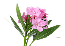 Pink Oleander