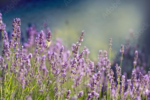 kwiat-lawendy-piekny-kwiat-lawendy-oswietlony-swiatlem-slonecznym