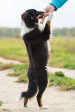 Black Sheltie Dog Breed Standing On Its Hind Legs In The Background Of Green Field