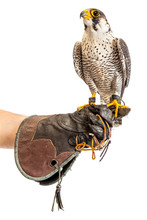Wild Young Falcon On Trainer G...