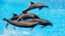 Dolphins Jumping In The Blue Water