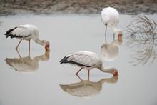 3 Yellow-billed Storks (Mycteria Ibis) Foraging In A Waterhole