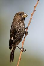 Thick-billed Weaver (Amblyospi...