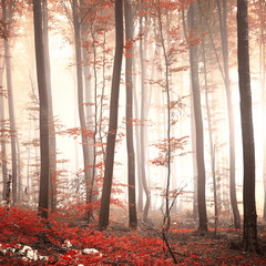 FototapetaLovely red colored autumn season beech tree leaf forest at foggy day. Seasonal red colored woodland. Picture was taken in south east Slovenia, Europe.