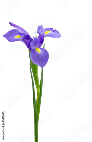 Foto op Plexiglas Iris Purple dutch iris isolated on white
