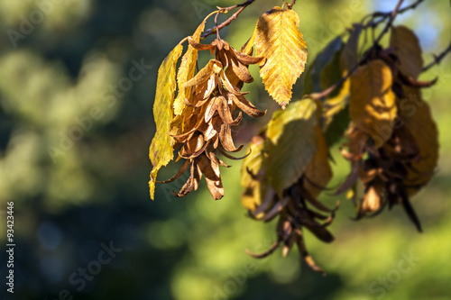 inflorescence and leaves of a hornbeam (Carpinus betulus) in aut