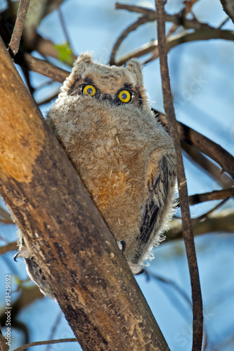 Αφίσα  Great Horned Owl in tree