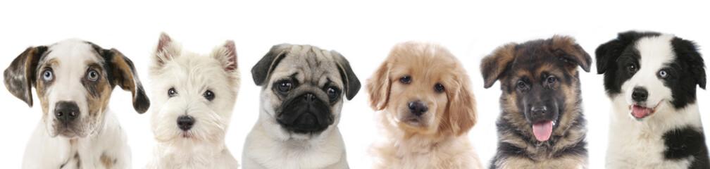 Panel Szklany Podświetlane Pies Verschiedene Welpen - Hunde Köpfe aufgereiht