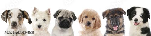 Obraz na plátně Verschiedene Welpen - Hunde Köpfe aufgereiht