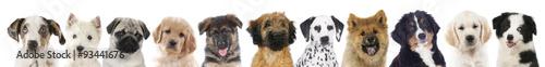 Valokuvatapetti Verschiedene Welpen - Hunde Köpfe aufgereiht