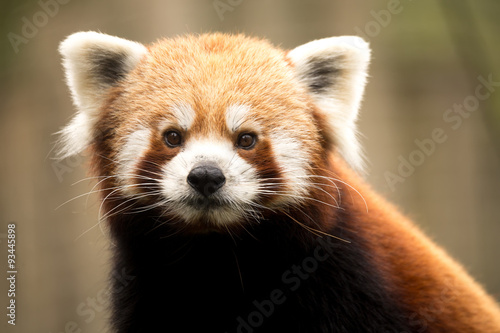 Red panda (Ailurus fulgens) Wallpaper Mural