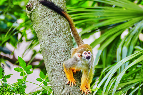 Spoed Foto op Canvas Aap Common Squirred Monkey.
