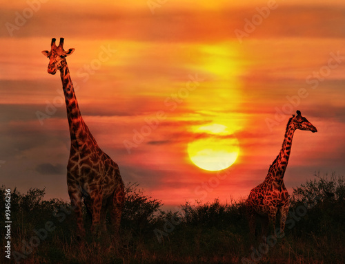 Fotografie, Obraz  Wild Giraffes in the savannah at sunset