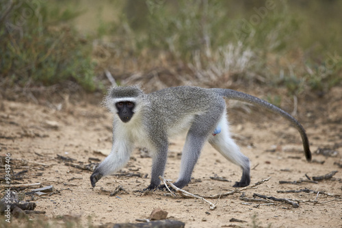 Vervet monkey (Chlorocebus aethiops), Mountain Zebra National Park, South Africa, Africa