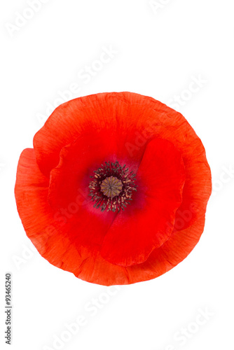 Poster Poppy red poppy isolated on white