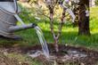 canvas print picture - Frisch gepflanzten Baum giessen