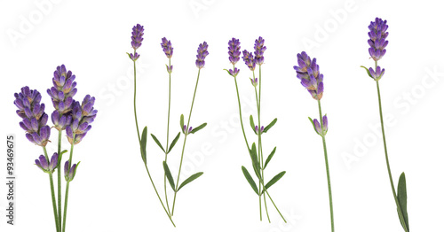 Spoed Foto op Canvas Lavendel Lavender flowers set isolated on white