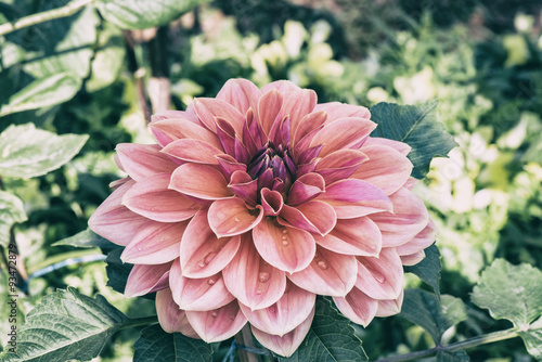 Poster Dahlia Beautiful vintage pink dahlia at the garden