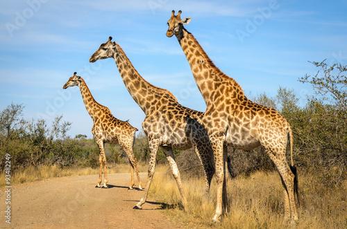 Foto op Aluminium Giraffe Giraffe - Kruger park - Sudafrica