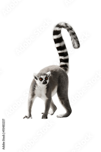 The Lemur with a raised tail standing on white background
