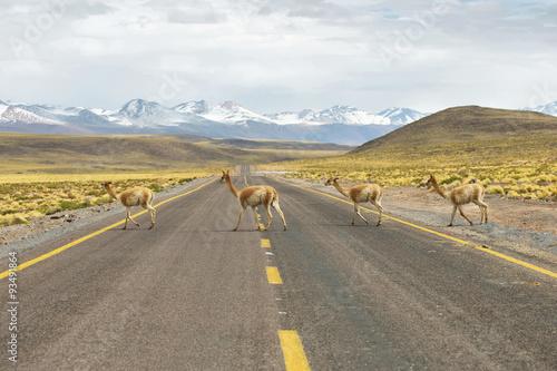 Poster Lama Vicunas in the meadows of Atacama region