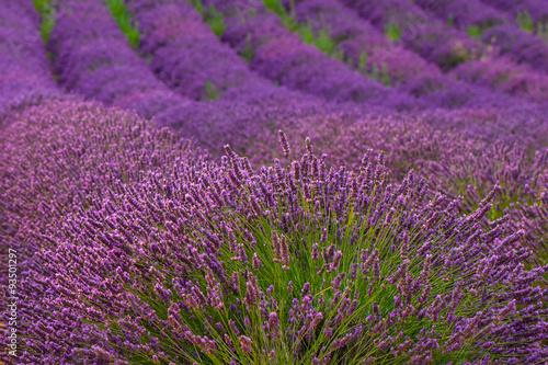 In de dag Lavendel Lavender, Provence, France