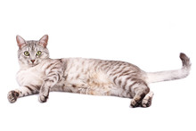 Gray Tabby Cat Lying