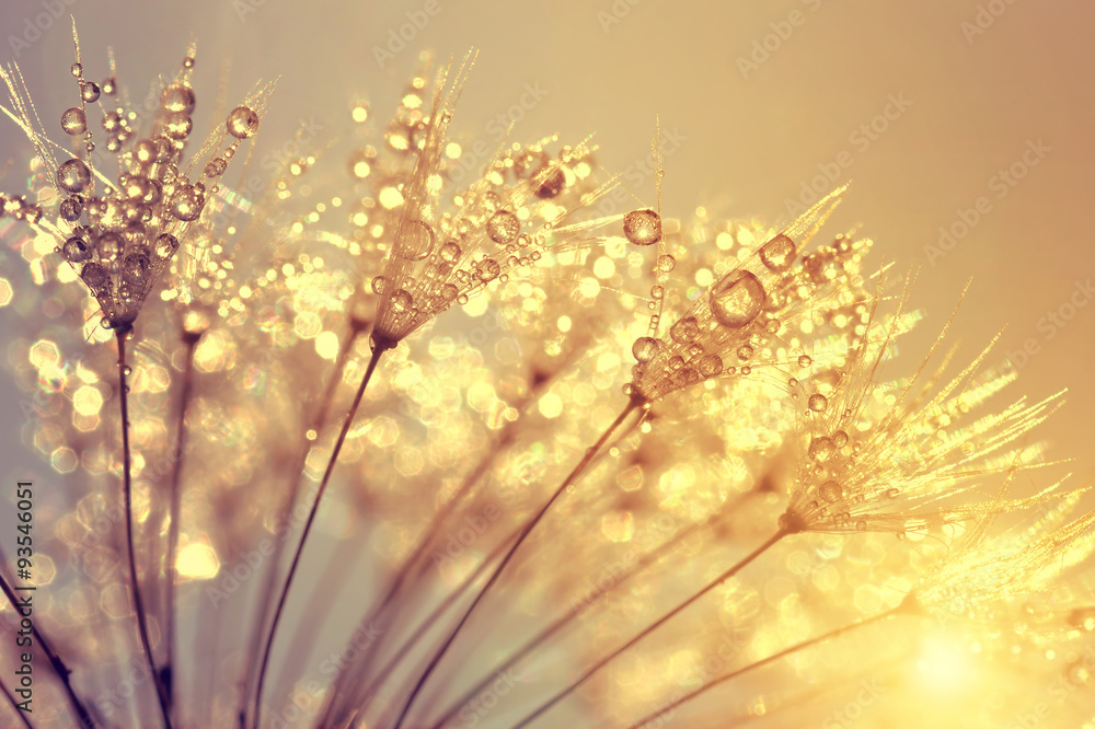 Fototapety, obrazy: Dewy dandelion flower at sunset close up