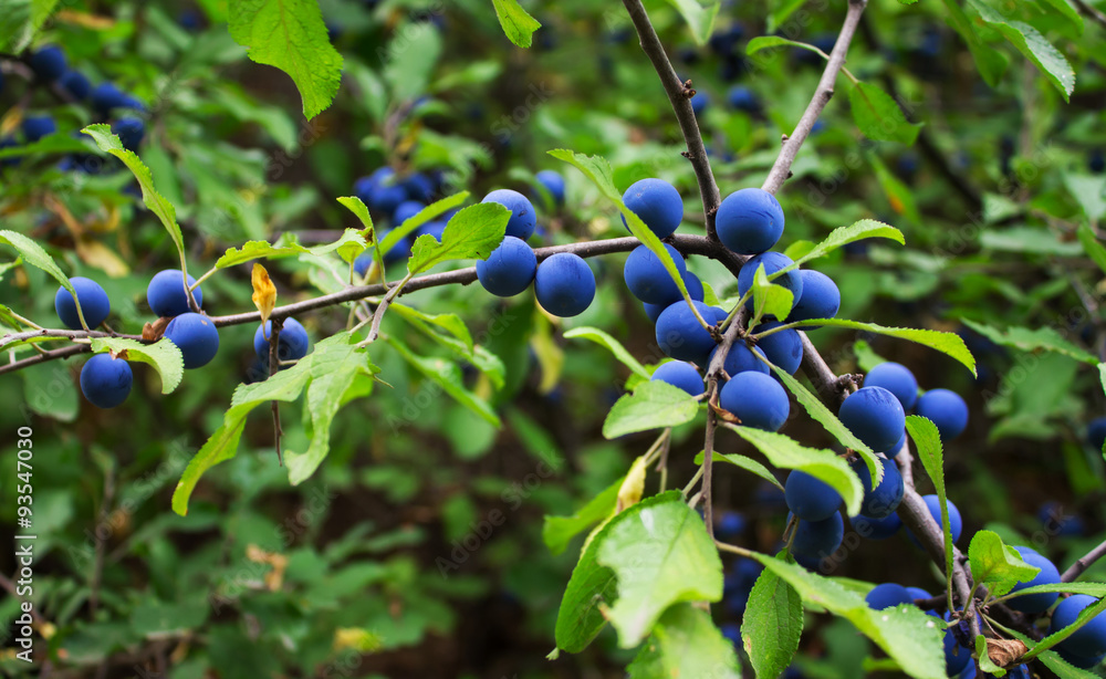 Photo  branch with sloe berries blue and green leaves