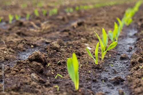 Sprouting maize/corn on field Canvas Print