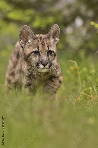 Fototapeta premium Puma, Cougar