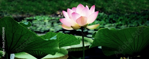 Garden Poster Lotus flower Leuchtende Lotosblüte im Teich mit Blättern