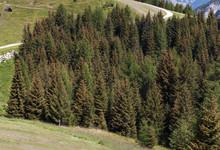 Foresta, Bosco, Abeti Fitti, A...