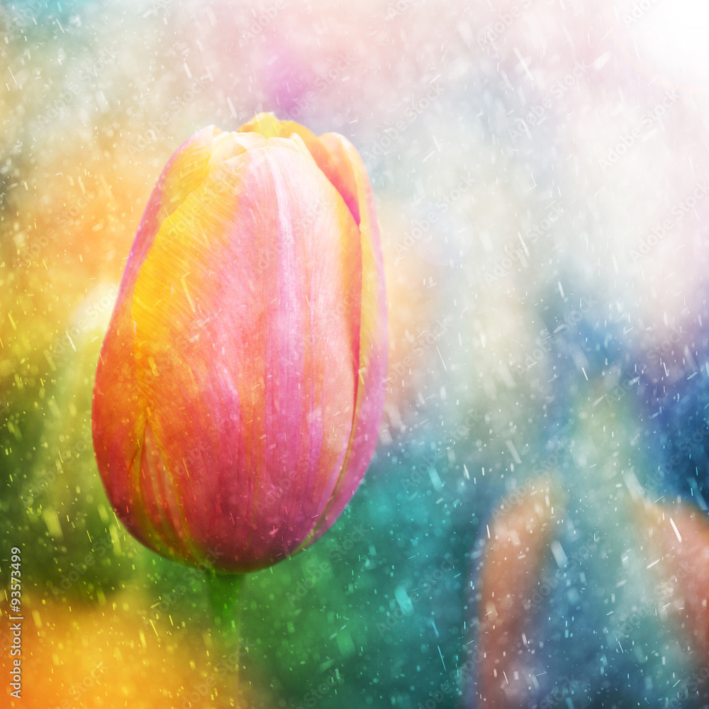 Fototapeta Beautiful sunny and rainy colorful tulip flower background. Selective focus used.