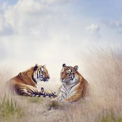 Panel Szklany Zwierzęta Two Tigers
