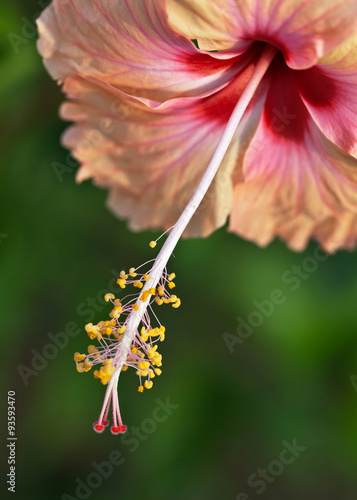 Hibiscus Flower With Stamens Anthers And Pistil Buy This Stock