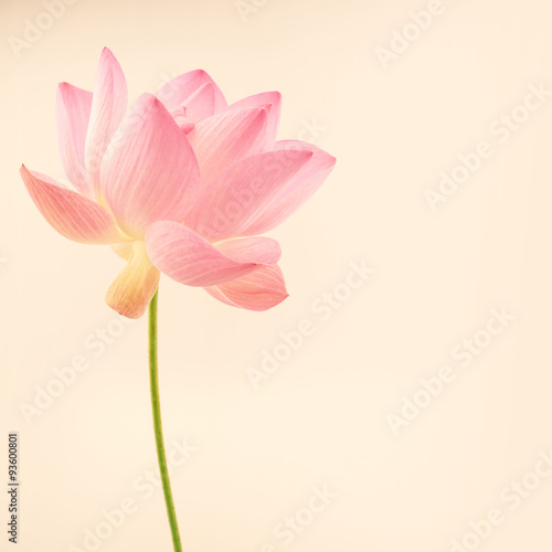 Staande foto Lotusbloem sweet pink lotus in soft and blur style for background